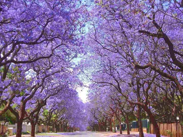 jacaranda-trees.-pretoria-south-africa